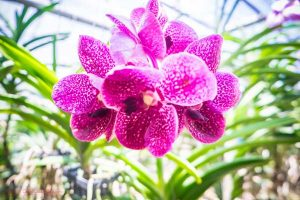 orchid fram in Chiang Mai
